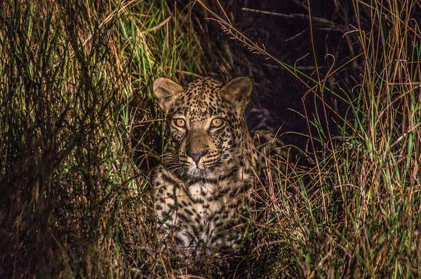 Leopard, Kapama