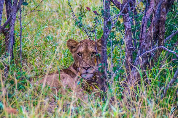 Lioness, Kapama