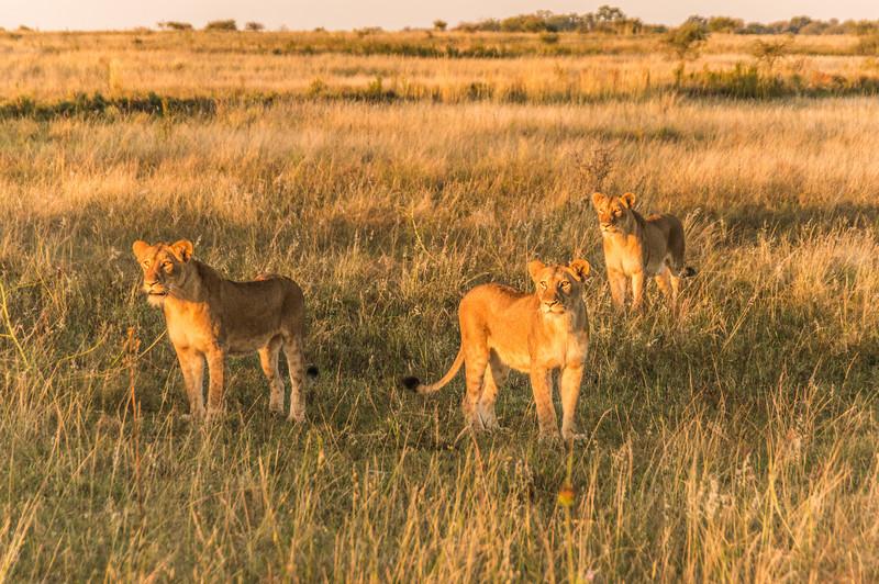 Lionesses, Kapama