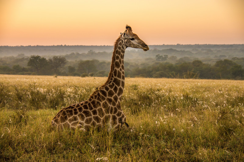 Giraffe at Sunrise, Kapama