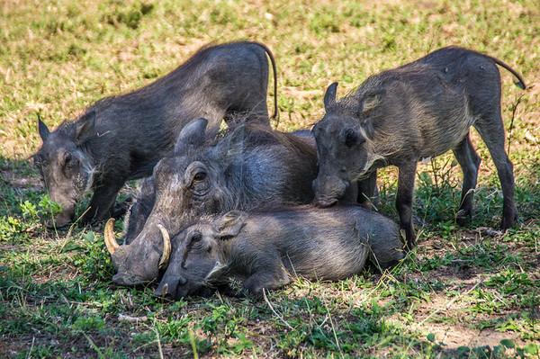 Warthogs, Kapama