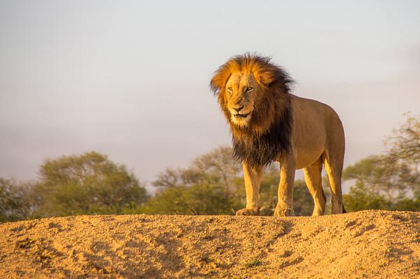Lion, Kapama