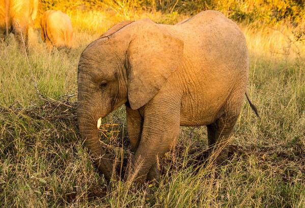 Elephant, Kapama