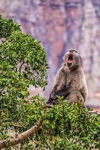 Baboon, De Toits Kloof Pass, South Africa